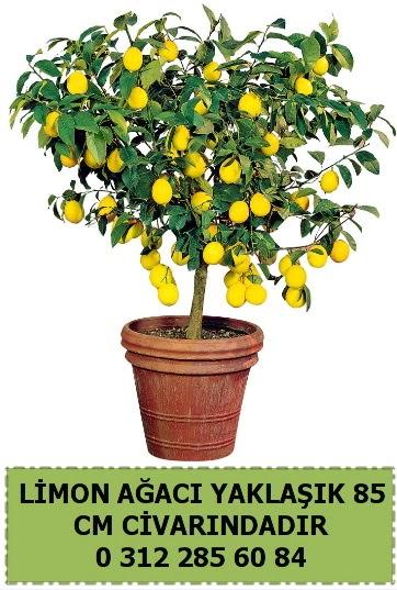 Limon ağacı bitkisi  Türkiye çiçek yolla , çiçek gönder , çiçekçi