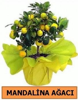 Mandalina ağacı Mandalina bitkisi  Türkiye yurtiçi ve yurtdışı çiçek siparişi