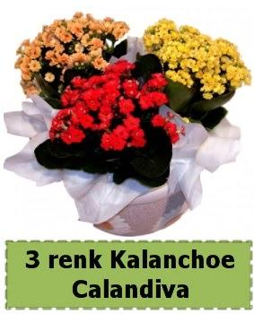 3 renk Kalanchoe Calandiva saksı bitkisi  Türkiye yurtiçi ve yurtdışı çiçek siparişi