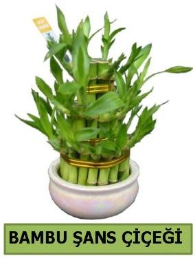 Bambu şans çiçeği bitkisi  Türkiye online çiçekçi , çiçek siparişi