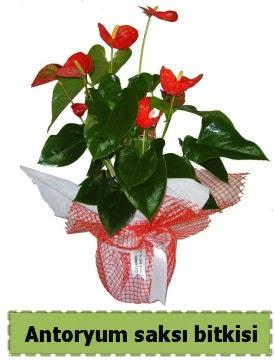 Antoryum saksı bitkisi büyük boy satışı  Türkiye İnternetten çiçek siparişi