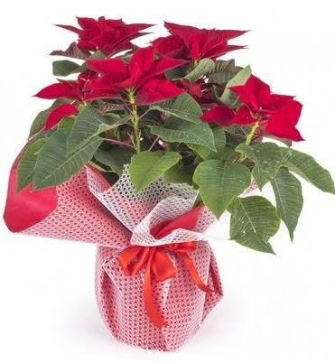 Atatürk çiçeği saksı bitkisi  Türkiye kaliteli taze ve ucuz çiçekler