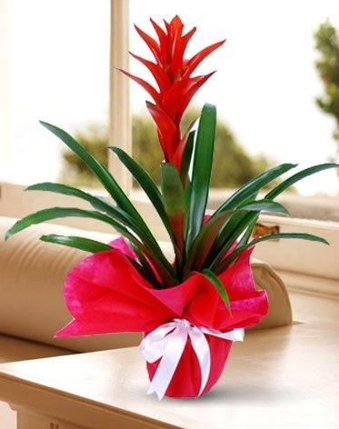 Guzmanya Saksı Çiçeği  Türkiye güvenli kaliteli hızlı çiçek