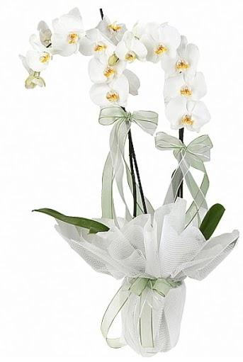Çift Dallı Beyaz Orkide  Türkiye çiçek siparişi vermek