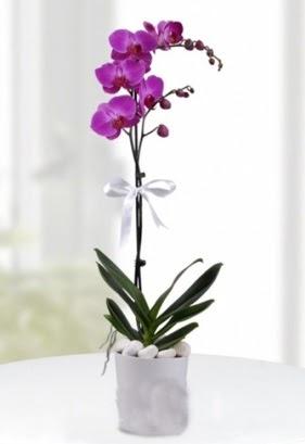 Tek dallı saksıda mor orkide çiçeği  Türkiye çiçek , çiçekçi , çiçekçilik