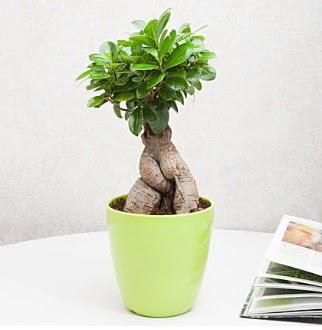 Ficus Ginseng Bonsai  Türkiye internetten çiçek siparişi