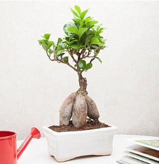 Exotic Ficus Bonsai ginseng  Türkiye cicekciler , cicek siparisi