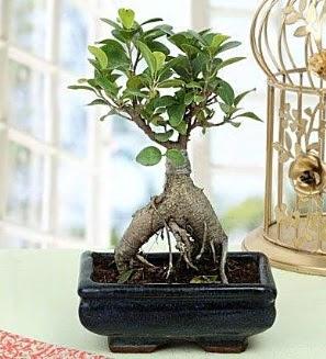 Appealing Ficus Ginseng Bonsai  Türkiye çiçek siparişi vermek