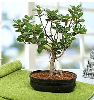 Lovely Ficus Iceland Bonsai  Türkiye çiçek siparişi vermek