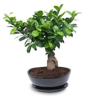 Ginseng bonsai ağacı özel ithal ürün  Türkiye çiçek satışı