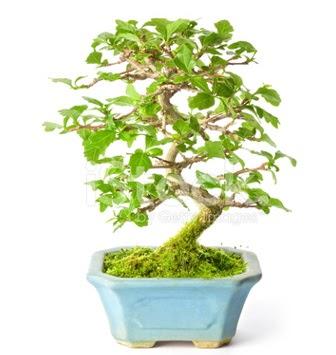 S zerkova bonsai kısa süreliğine  Türkiye çiçek mağazası , çiçekçi adresleri