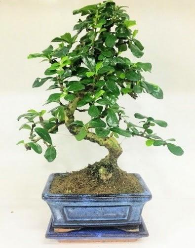 S Bonsai japon ağacı bitkisi  Türkiye çiçekçiler