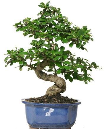 21 ile 25 cm arası özel S bonsai japon ağacı  Türkiye online çiçekçi , çiçek siparişi