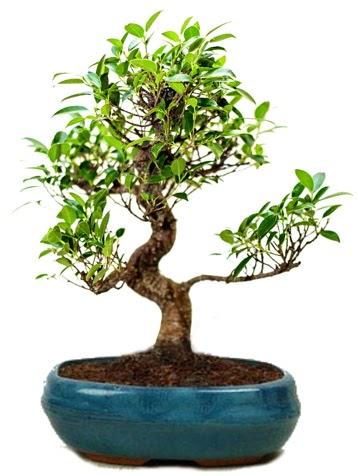 25 cm ile 30 cm aralığında Ficus S bonsai  Türkiye kaliteli taze ve ucuz çiçekler