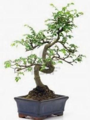 S gövde bonsai minyatür ağaç japon ağacı  Türkiye çiçek yolla , çiçek gönder , çiçekçi