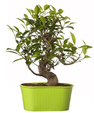 Ficus S gövdeli muhteşem bonsai  Türkiye çiçekçi telefonları